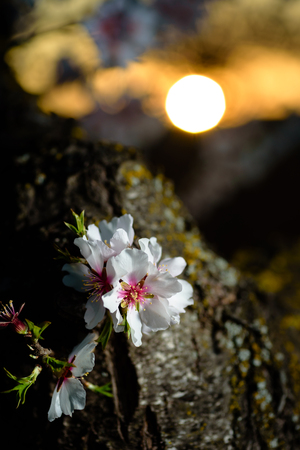 Spring flowering branches, white flowers at sunset, blossoms Almond close up. Los Velez,Almeria, Spain Stock Photo