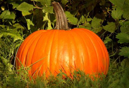 Golden Pumpkin Patch Stock Photo - 5536950