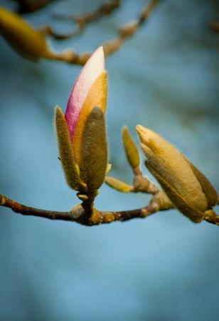 foiliage: Magnolia blossom budding in springtime
