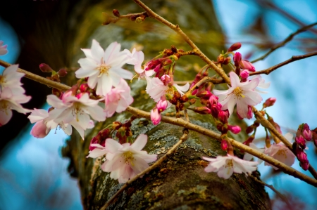 foiliage: Limbs of Cherry blossom tree in spring