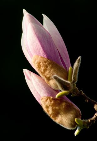 Magnolia blossom budding in springtime Stock Photo - 15852542