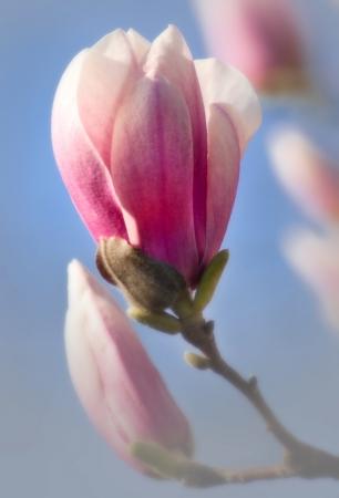 Magnolia blossom budding in springtime Stock Photo - 15852512