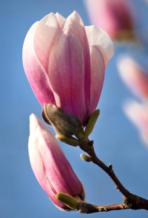Magnolia blossom budding in springtime Stock Photo - 15852576
