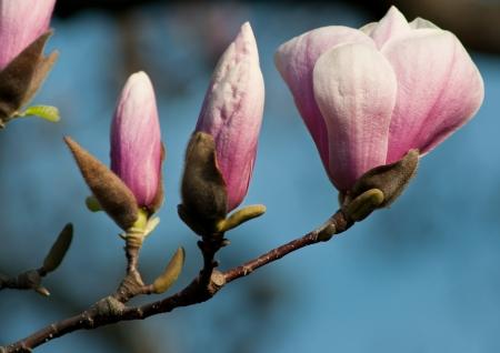 Magnolia blossom budding in springtime Stock Photo - 15852739