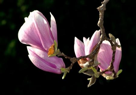 Magnolia blossom budding in springtime Stock Photo - 15852582
