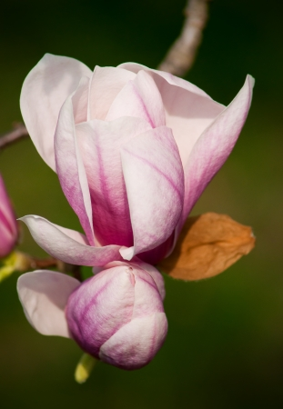 foiliage: Magnolia blossoms on tree in Michigan Stock Photo