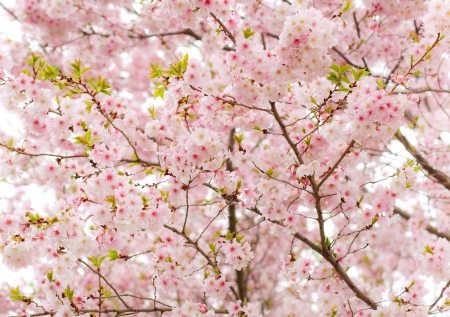 foiliage: Highkey of pink covered spring time tree