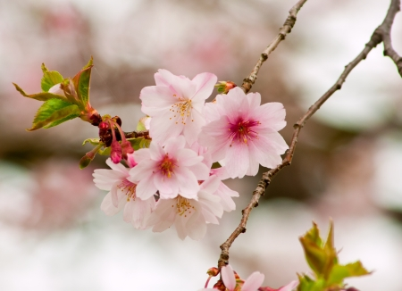 foiliage: Early spring cherry blossoms on michigan tree Stock Photo