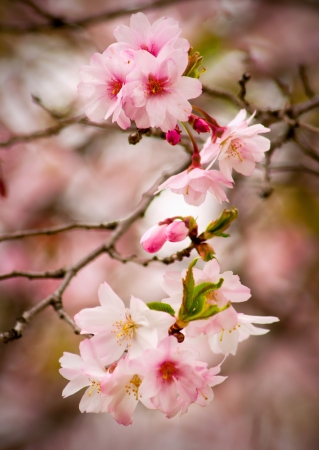 Early spring cherry blossoms on michigan tree Stock Photo