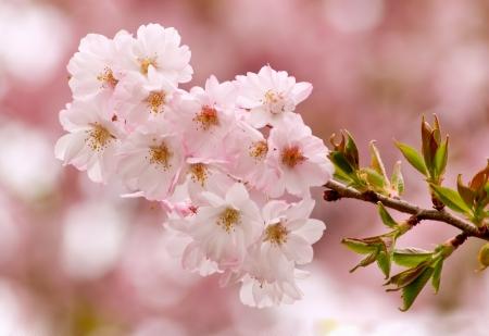 ツリー手足ミシガン州春に桜の花
