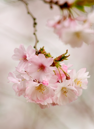 Cherry blossoms on tree limb michigan spring photo