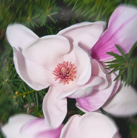 Magnolia blossom  in springtime close-up Stock Photo - 15852584
