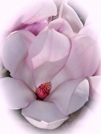 Magnolia blossom  in springtime close-up Stock Photo - 15852741