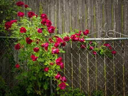 Flowery Decor in yard in Michigan Rose fence Stock Photo
