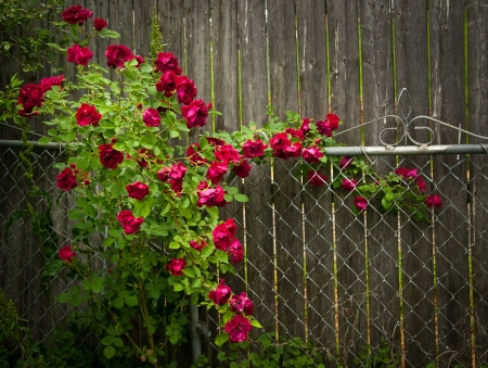 Climbing Rose Fence Stock Photo