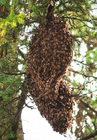 Große Stapel von Bienen bedeckt es Königin