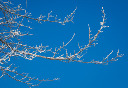 michigan snow: frosted tree tops in mid winter morning