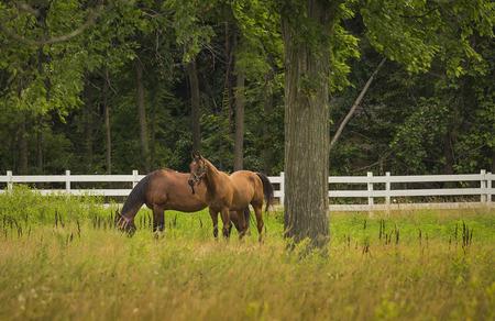 graze: Horses grazing on farm grass land fields Stock Photo