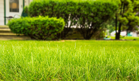 Beautiful green full grass in home yard Stock Photo