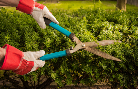 Manual hedge cutters cutting over growth in yard Фото со стока