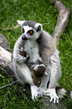primates: Sitting lemur with a baby on a branch, green grass