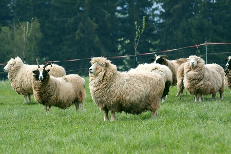 Herd of sheep for grazing