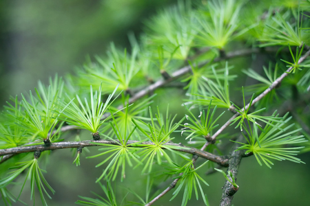 Larch background green green spring floral fresh tree nature branch delicate twig closeup plant european larix flora backdrop foliage bud needles young beautiful beautiful natural, Brown, botanical, seed, cone, cones, outdoors, close-up, wood, female, env Stock Photo