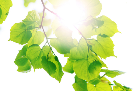 Spring leaves of lime tree Stock Photo