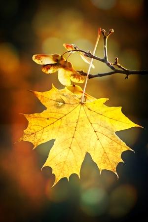 Maple autumn leaf Stock Photo