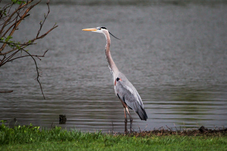 Blue Heron Standing by Waters Edge