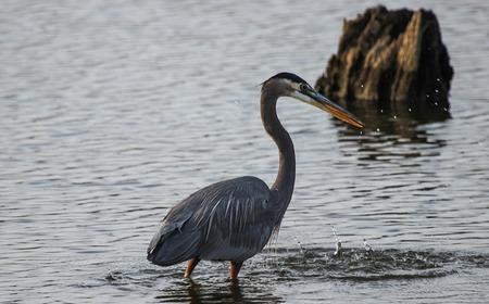 blue heron: Great Blue Heron Makes Water Splash