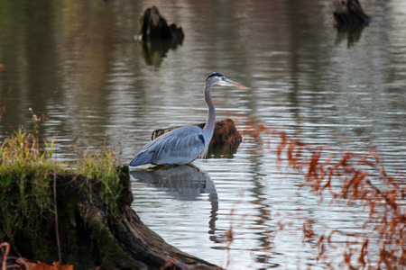 Great Blue Heron in Shallow Water With Reflection Imagens