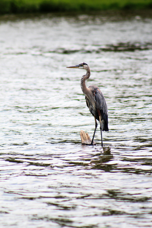 great blue heron: Great Blue Heron Standing on Partially Submerged Log
