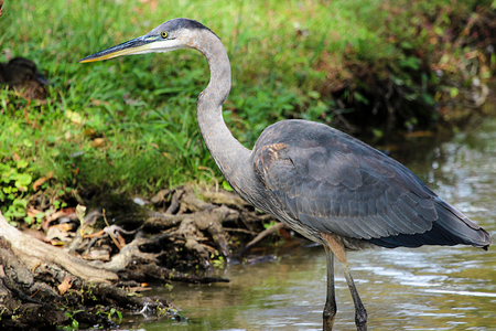 blue heron: Side View of Great Blue Heron Standing in Shallow Water