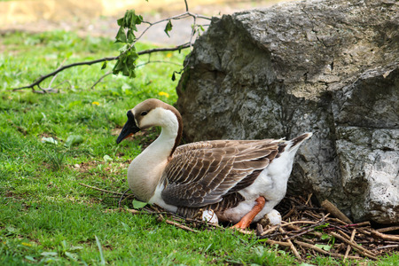 color photographs: Mother Goose on Nest Stock Photo