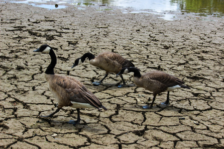 parched: Geese on Parched Land