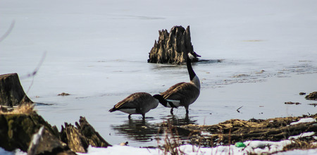 frozen lake: Two Geese on Frozen Lake