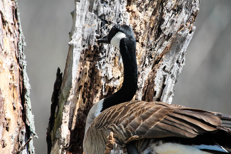 color photographs: Goose in Tree