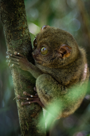 long toes: A cute little tarsier is holding on to a branch with his very long fingers and toes. Stock Photo