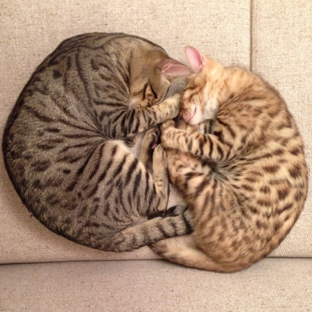 cat sleeping: Mother Bengal Cat and her son cuddling asleep