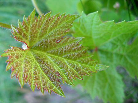 leaf grape: Verdes, frescas y delicadas primer plano de hojas de uva, tomas macro