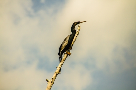 snag: Cormorant resting high on an old snag in Lake Martin, Louisiana Stock Photo