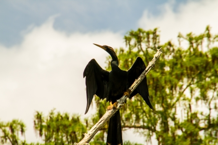 Cormorant spreading his wings in a Louisiana swamp with Cypres trees in the background photo