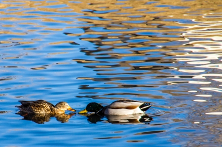 Male and female ducks pose nose to nose in beautiful blue water with white and colorful reflections