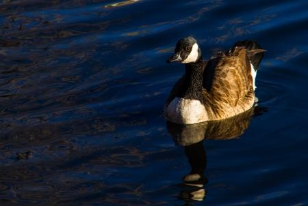 Canada goose Stock Photo - 17425513