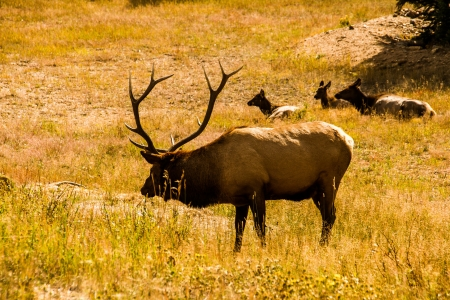 Trophy bull elk watches over his harem photo