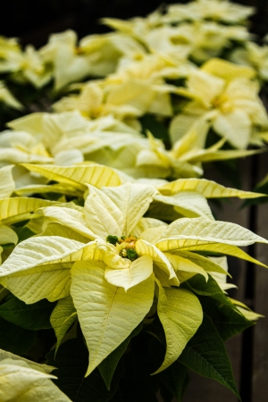 rosids: Holiday poinsettias growing at a local wholesale nursery