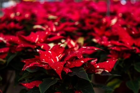 rosids: Group of Marble red and white poinsettias in bulk nursery setting