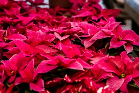 rosids: a bunch of pink poinsettias in a green house
