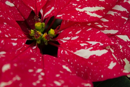 rosids: Closekup of flower bud on a Red Glitter Poinsettia